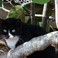 Adopt A Pet :: Sushi - Naples, FL