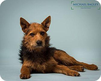 Welsh Terrier Mix Dog for adoption in Norwalk, Connecticut - Bruce - Gentle boy-MEET ME