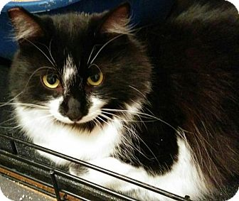 Domestic Longhair Cat for adoption in Sunderland, Ontario - Fuzzball