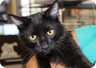 Domestic Mediumhair Kitten for adoption in Las Vegas, Nevada - DREW