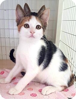 Calico Kitten for adoption in Key Largo, Florida - Samantha