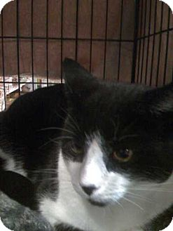 Domestic Shorthair Cat for adoption in Montclair, New Jersey - Stan Lee