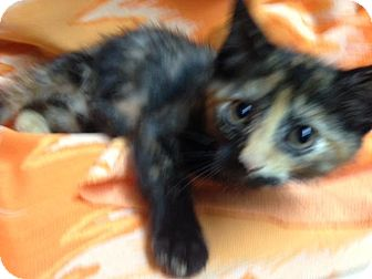 Calico Kitten for adoption in Dallas, Texas - Owl