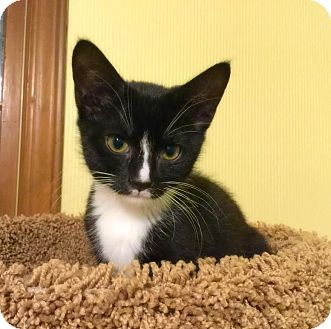 Domestic Shorthair Kitten for adoption in Charlotte, North Carolina - A..  Daelyn