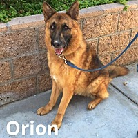 German Shepherd Dog Dog for adoption in Newport Beach, California - Orion
