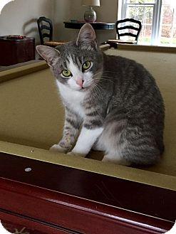 Domestic Shorthair Kitten for adoption in Morristown, New Jersey - Jenny