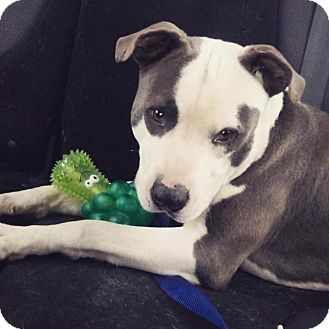 Pit Bull Terrier Mix Dog for adoption in Broken Arrow, Oklahoma - Wilbur (Pepper)