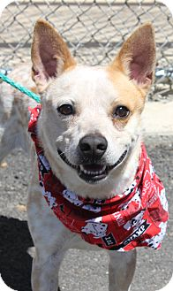 Cattle Dog Mix Dog for adoption in Clayton, New Jersey - BAILEY