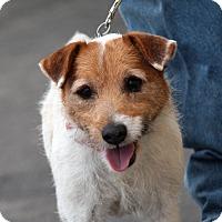 Adopt A Pet :: Scruffy - Palmdale, CA
