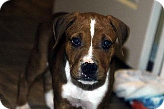 Pit Bull Terrier Puppy for adoption in Harriman, Tennessee - Chip