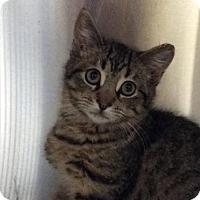Adopt A Pet :: Azrael - Bridgewater, NJ