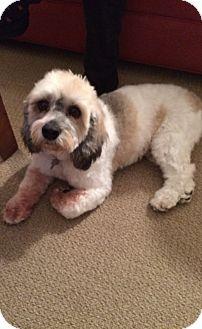 Cockapoo Dog for adoption in Mahopac, New York - Cody