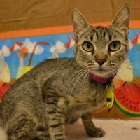 Domestic Shorthair/Domestic Shorthair Mix Cat for adoption in Edinburg, Texas - Aloe