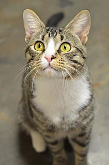 Domestic Shorthair Cat for adoption in Atlanta, Georgia - Mojo 171256