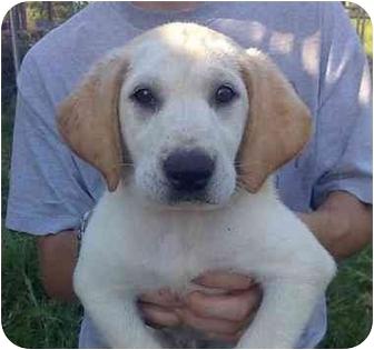 Labrador Retriever Mix Puppy for adoption in Sealy, Texas - Buttons
