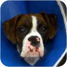 Boxer Dog for adoption in North Haven, Connecticut - Chino