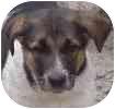 Collie/Shepherd (Unknown Type) Mix Puppy for adoption in Hamilton, Ontario - Buffy