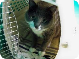 Domestic Shorthair Cat for adoption in Secaucus, New Jersey - Smokey