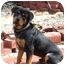 Photo 1 - Rottweiler Puppy for adoption in Homestead, Florida - Max