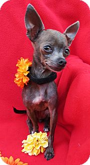Chihuahua Dog for adoption in Irvine, California - Gabby - 3 lbs