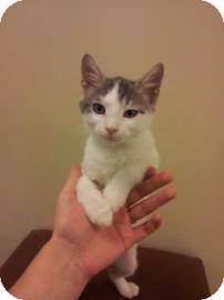 Domestic Shorthair Kitten for adoption in Columbus, Georgia - Simon 2208