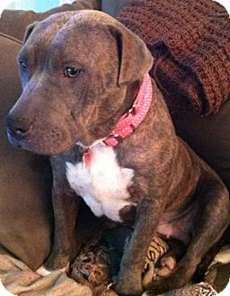Staffordshire Bull Terrier/American Staffordshire Terrier Mix Dog for adoption in Los Angeles, California - Clara