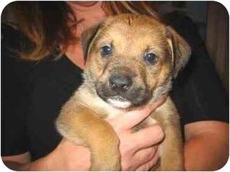 Australian Shepherd Mix Puppy for adoption in Vista, California - Hans Solo