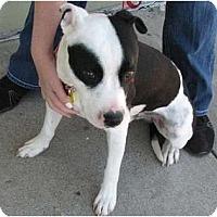 Adopt A Pet :: Niko - Arlington, TX