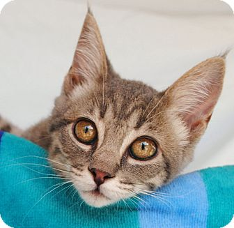 Domestic Shorthair Kitten for adoption in Palmdale, California - Jill