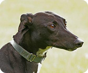Greyhound Dog for adoption in Portland, Oregon - Christy