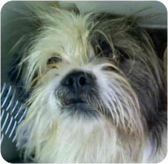 Shih Tzu Mix Dog for adoption in Provo, Utah - PHANTON