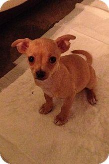 Chihuahua Mix Puppy for adoption in Pleasanton, California - Blossom-Adoption Pending