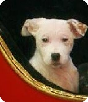 Pit Bull Terrier Mix Puppy for adoption in River Falls, Wisconsin - Wonder Woman