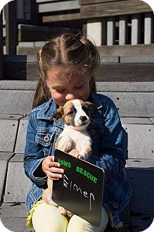 Corgi/Corgi Mix Puppy for adoption in Forest Hill, Maryland - Elmer