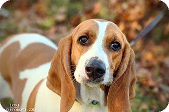 Basset Hound Mix Dog for adoption in Portland, Oregon - Loki