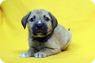 German Shepherd Dog Mix Puppy for adoption in Westminster, Colorado - Henri
