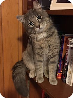 Maine Coon Cat for adoption in Chattanooga, Tennessee - Harley