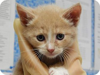 Domestic Shorthair Kitten for adoption in The Dalles, Oregon - Arizona