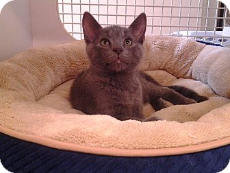 Domestic Shorthair Kitten for adoption in Richmond, Virginia - Foggy