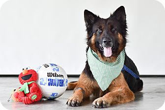 German Shepherd Dog Mix Dog for adoption in Vancouver, British Columbia - Trooper