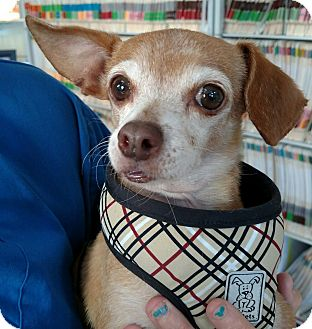 Chihuahua Mix Dog for adoption in San Diego, California - Wally