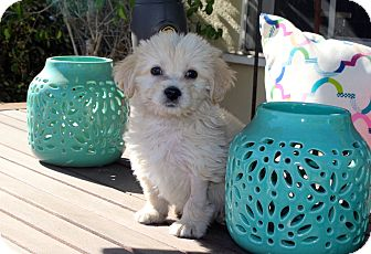 Pomeranian/Spaniel (Unknown Type) Mix Puppy for adoption in Los Angeles, California - Jonesy