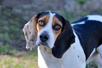 Beagle Mix Dog for adoption in Norfolk, Virginia - NICKY