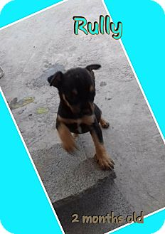 Terrier (Unknown Type, Medium)/Manchester Terrier Mix Puppy for adoption in LAKEWOOD, California - Vinn