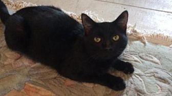 Domestic Shorthair Cat for adoption in Boynton Beach, Florida - Madonna