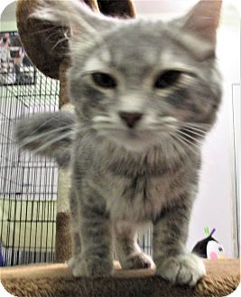 American Shorthair Kitten for adoption in Reeds Spring, Missouri - Nina