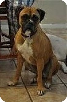 Boxer Dog for adoption in Houston, Texas - CLARA