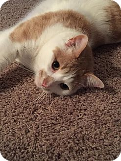 Domestic Shorthair Cat for adoption in Rochester Hills, Michigan - Bailey