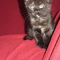 Adopt A Pet :: Kitten: Maple - Napa, CA