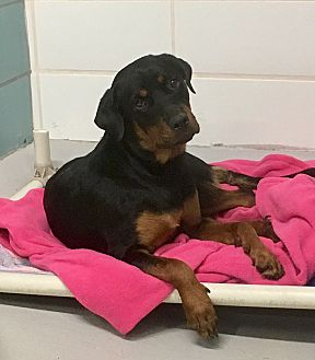 Adopt A Pet :: Puppy in Distress!!  - Ft Myers Beach, FL